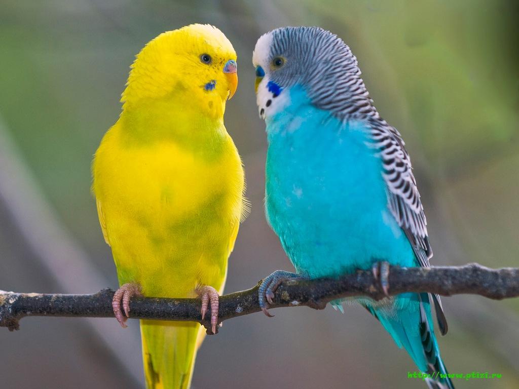 красный волнистый попугай фото