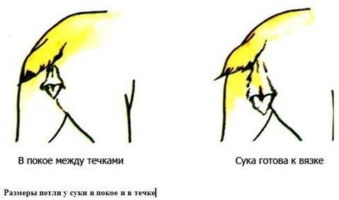 Вязка Йорков Инструкция Видео - фото 4