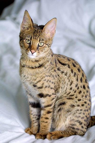 Саванна – домашняя кошка из