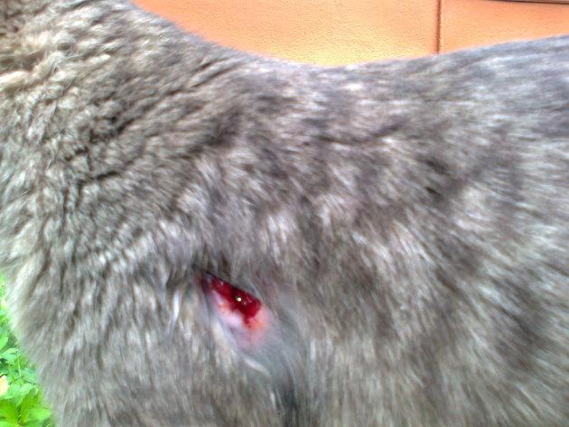 Как лечить гноящиеся раны после укуса собаки