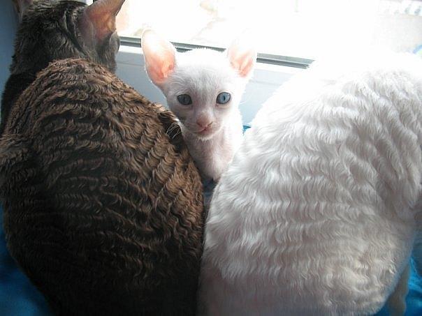 каракулевая кошка фото