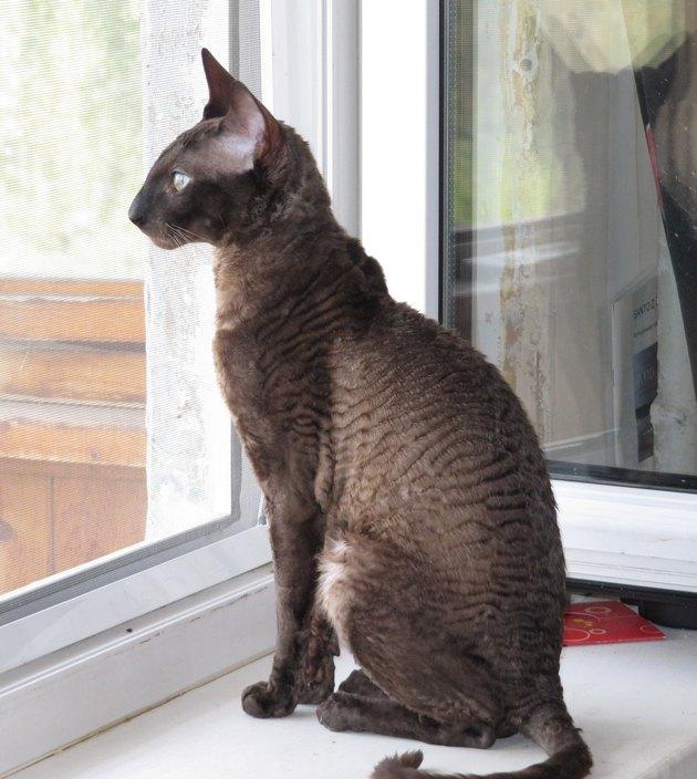 Кошка Девон-рекс (фото): Игривый питомец и верный друг | 704x630