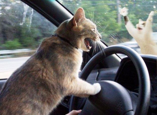 Картинки кота на авто