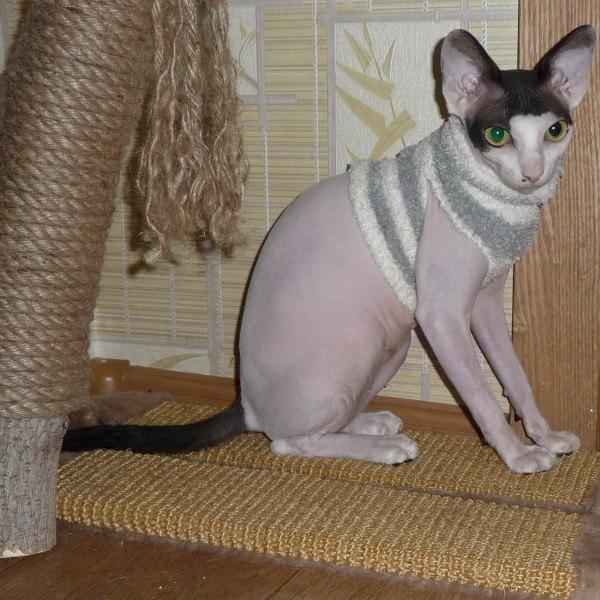 одежда для кошек сфинксов и девон рексов приятней сделать одежду